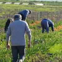 cueillette_tulipes01